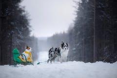 Honden op sleeën De winterspelen met een huisdier in aard stock afbeelding