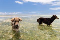 Honden in overzees of het water van Indische Oceaan op Seychellen Stock Foto