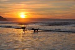 Honden playng bij de kust Stock Afbeelding