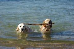 Honden samen Royalty-vrije Stock Afbeeldingen