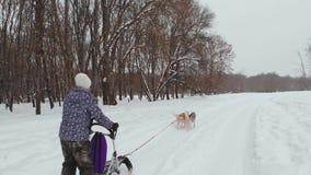 Honden van de rassen de schor slee in de winter Noordelijke schor honden berijdend op honden, het concept vermaak stock footage