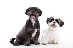 2 honden van shitzu zien eruit Royalty-vrije Stock Afbeeldingen