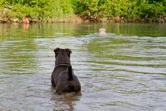 Honden in water Stock Afbeeldingen