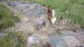 Honden of wolf die hetzelfde in onze archipel hier in Finland handelen stock videobeelden