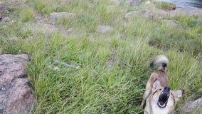 Honden of wolf die hetzelfde in onze archipel hier in Finland handelen stock video