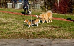 Hondenbrak en chow-chow die in het park lopen Brakhond die op een boom plassen royalty-vrije stock foto