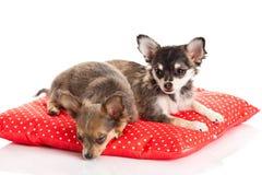 Hondenchihuahua die op rood die hoofdkussen leggen op witte achtergrond wordt geïsoleerd Stock Foto