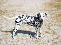 Hondenhond in de loop van de dag Stock Afbeeldingen