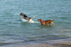 Hondenhond die in water met een andere het gereed staan springen Royalty-vrije Stock Afbeeldingen