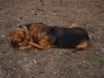 Hondenliefde Royalty-vrije Stock Foto