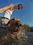 Hondenmening uit het water stock fotografie