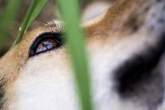 Hondenoog closup in de tuin Royalty-vrije Stock Afbeeldingen