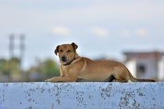 Hondenportret Stock Foto
