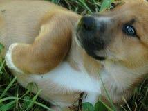 Hondenpuppy in Gras stock foto's