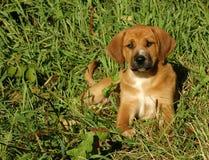 Hondenpuppy in Gras royalty-vrije stock afbeeldingen