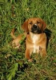 Hondenpuppy in Gras royalty-vrije stock afbeelding