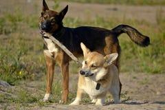 Hondenspel met elkaar Corgi pembroke royalty-vrije stock foto's