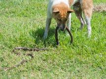 Hondenstrijd met slangen op het gazon royalty-vrije stock afbeelding
