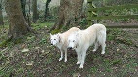 Hondenwilg en SAM Stock Afbeeldingen