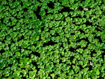 Honderden kleine waterlelies Stock Afbeeldingen
