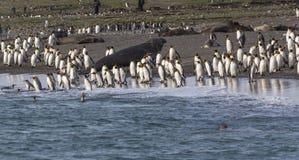 Honderden Koningspinguïnen die en in het overzees komen gaan om te vissen Stock Foto