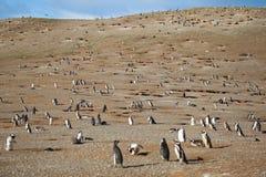 Honderden magellanic pinguïnen Royalty-vrije Stock Afbeeldingen