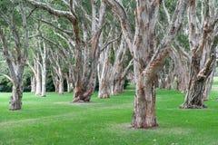 Honderdjarig Park in Sydney, Australië Dikke Altijdgroene Theebomen Stock Foto's