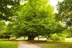 Honderdjarige lindeboom Stock Afbeeldingen