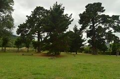 Honderdjarige Pijnbomen in een Park van Asturias royalty-vrije stock fotografie