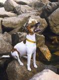 Hondfox-terrier op de overzeese rotsen Royalty-vrije Stock Fotografie
