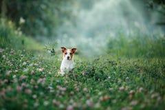 Hondgangen op aard, greens, Jack Russell Terrier op het gras Royalty-vrije Stock Foto