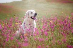 Hondgolden retriever in bloemen Royalty-vrije Stock Fotografie