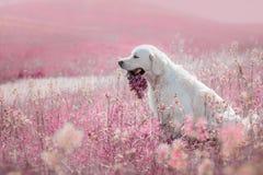Hondgolden retriever in bloemen Stock Foto