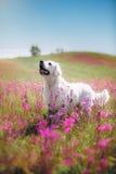 Hondgolden retriever in bloemen Royalty-vrije Stock Foto