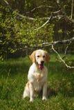 Hondgolden retriever het zitten Royalty-vrije Stock Afbeeldingen