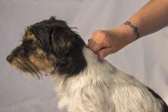 Hondhaar in orde maken die - verzorgen Goed Jack Russell Terrier royalty-vrije stock foto