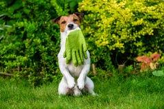 Hondholding die in mond het tuinieren handschoenen op achterste poten zitten Stock Afbeeldingen