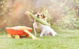 Hondholding in mond vers graan als oogstfestival en dankzeggingsconcept stock foto