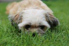 Hondje ligt i het-gras Royaltyfri Foto