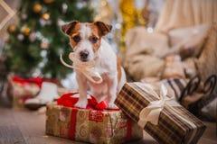 Hondkerstmis, nieuw jaar, Jack Russell Terrier Royalty-vrije Stock Afbeeldingen