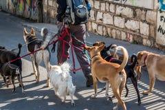 Hondleurder in de straat met veel honden Stock Foto