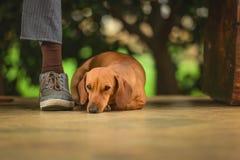 Hondmetgezel Stock Afbeeldingen
