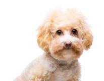 Hondpoedel stock afbeelding
