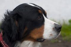 Hondportret Stock Foto