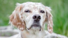 Hondportret Stock Afbeeldingen