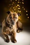 Hondportret; bokeh achtergrond Royalty-vrije Stock Afbeelding