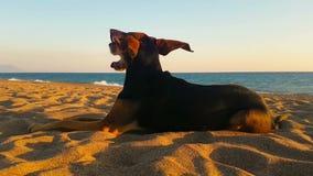Hondportret die het strand bekijken terwijl de wind blaast Een leuk ogenblik van het ontspannen stock video