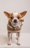 Hondportret schot-9 Royalty-vrije Stock Foto