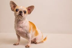 Hondportret schot-5 Stock Foto's