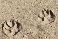 Hondpoten in Modder Stock Foto's